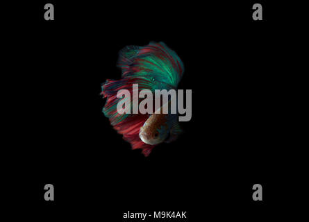 Siam fighting half moon betta - Stock Photo