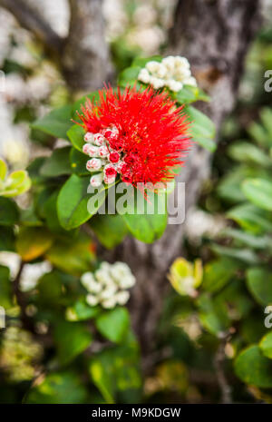 A closeup view of the flower on a ōhiʻa lehua tree in Hawaii Volcanoes National Park, Hawaii, The Big Island, USA. - Stock Photo
