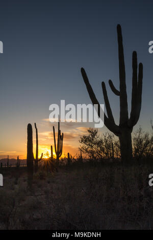 The setting sun on the horizon casts yellow, red and orange light across the horizon.  In the foreground, Saguaro cacti stand as tall silhouettes. - Stock Photo