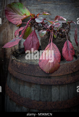 Bergenia plant in early Spring - Stock Photo