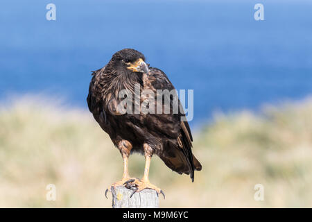 striated caracara Phalcoboenus australis adult perched near ocean. Falkland Islands - Stock Photo