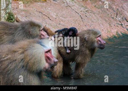 Family hamadryas babun with little cub - Stock Photo