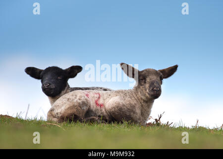 Detailed, landscape close up of two springtime lambs seated on grass against blue sky background, both looking to camera. - Stock Photo