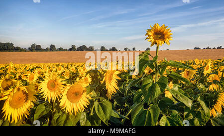 A rogue sunflower growing taller than the rest of the field as they bathe in the early morning sunshine. - Stock Photo