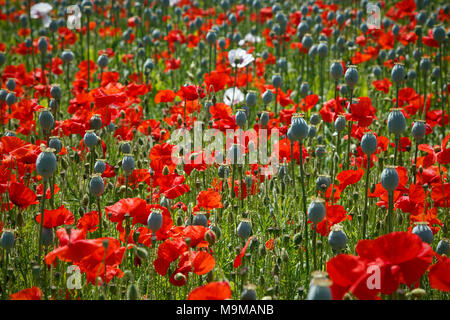 A mixed field of poppies, the Opium poppy crop has mostly lost it's petals leaving the large seed pods ready for harvesting whilst the reds are in ful - Stock Photo