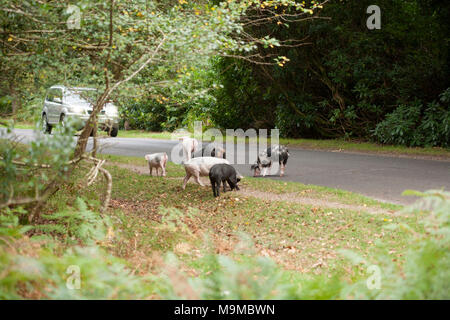 Pigs roaming free for what is known as pannage, in The New Forest, where they eat fallen acorns. A car is slowing to avoid them. New Forest Hampshire  - Stock Photo