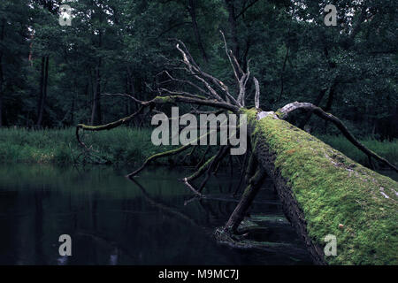 Old dead moss-covered fallen tree crossing the river. - Stock Photo