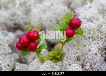 Lingonberry / cowberry / lowbush cranberry / partridgeberry (Vaccinium vitis-idaea) showing ripe red berries among reindeer lichen - Stock Photo