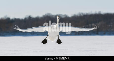 A trumpeter swan (Cygnus buccinator) landing on the frozen St. Croix River, Hudson, WI, USA, early January, by Dominique Braud/Dembinsky Photo Assoc - Stock Photo