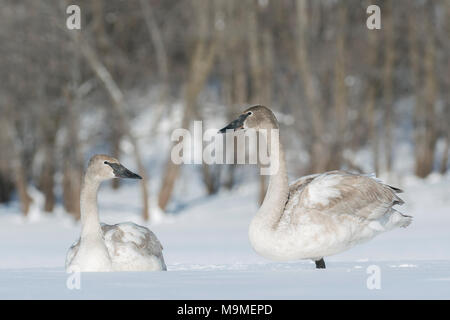 Immature trumpeter swans (Cygnus buccinator) resting on the frozen St. Croix river, WI, USA, February, by Domninqie Braud/Dembinsky Photo Assoc