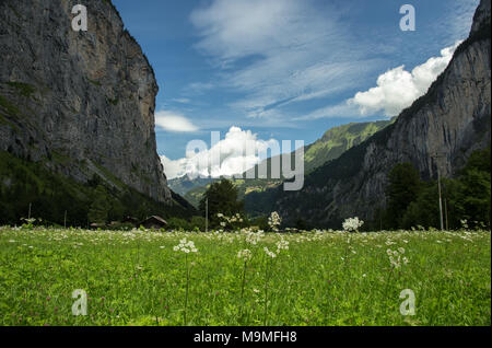 Lauterbrunnen Valley With White Flowers in a Grassy Field Surrounded by Swiss Alps - Stock Photo