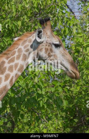 Giraffe (Giraffa camelopardalis).