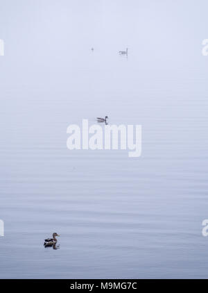 Ducks and Goose in the Fog: Three ducks and one goose float on the calm waters of a pond where all detail is erased by the thick morning fog. - Stock Photo