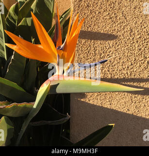 beautiful orange flowers of stelitzia Reginae also know as the crane flower or bird of paradise shown growing in a sunny walled courtyard - Stock Photo