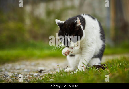 Domestic cat. Black-and-white adult on a farm, grooming itself. Germany. - Stock Photo