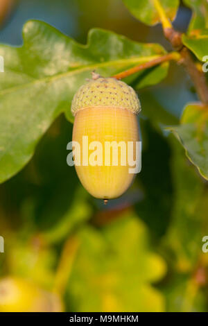 Common Oak, English Oak (Quercus robur). Acorn on a twig. Germany - Stock Photo