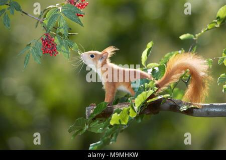 European Red Squirrel (Sciurus vulgaris) stretching for red berries. Germany - Stock Photo