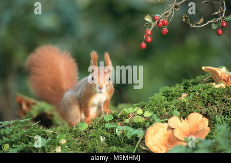 European Red Squirrel (Sciurus vulgaris) next to Crataegus berries. Germany - Stock Photo