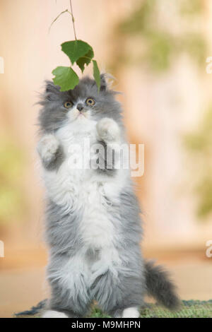Persian Cat. Kitten sitting on its haunches on a rug, playing with Birch leaves. Germany. - Stock Photo