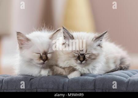 Sacred cat of Burma. Two kittens sleeping on a cushion. Germany - Stock Photo