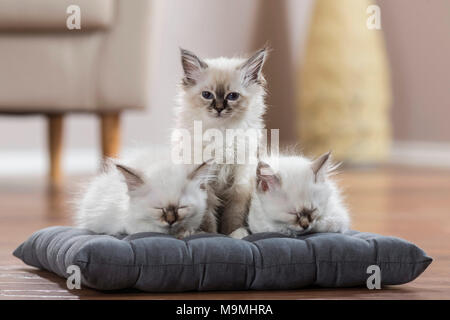 Sacred cat of Burma. Three kittens on a cushion, two of them sleeping. Germany - Stock Photo