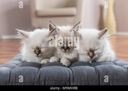 Sacred cat of Burma. Three kittens sleeping on a cushion. Germany - Stock Photo