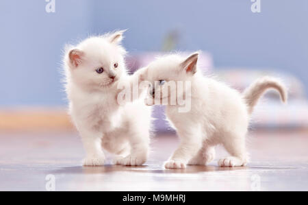 Sacred cat of Burma. Two kittens (4 weeks old) playing on parquet. Germany - Stock Photo