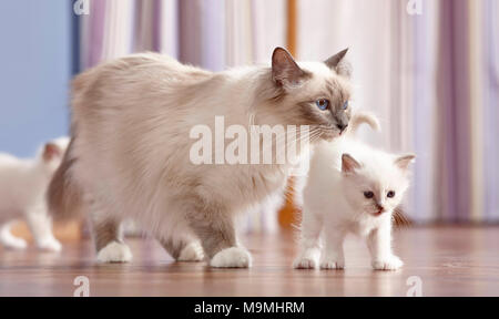 Sacred cat of Burma. Mother with two kittens (4 weeks old) walking on parquet. Germany - Stock Photo