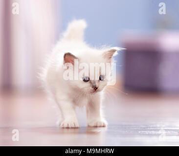 Sacred cat of Burma. Kitten (4 weeks old) walking on parquet. Germany - Stock Photo