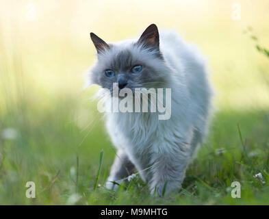 Sacred cat of Burma. Old cat walking on a meadow, seen head-on. Germany - Stock Photo
