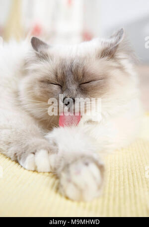 Sacred cat of Burma. Adult cat lying on a rug, grooming itself. Germany. - Stock Photo