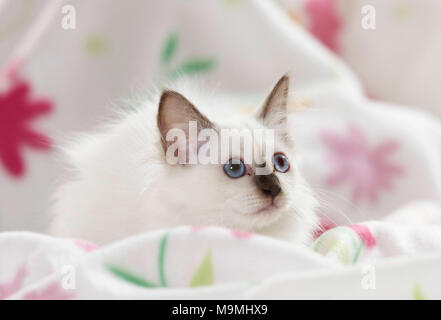 Sacred cat of Burma. Kitten lying on a white blanket with flower print. Germany - Stock Photo