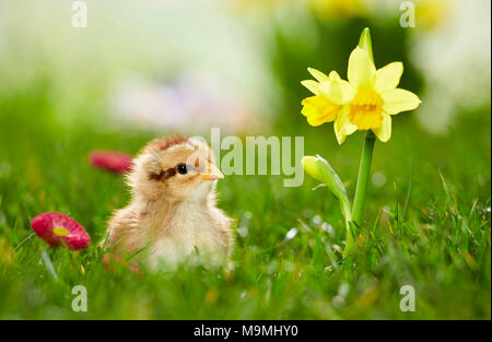 Welsummer Chicken. Chicken in flowering meadow in spring. Germany - Stock Photo