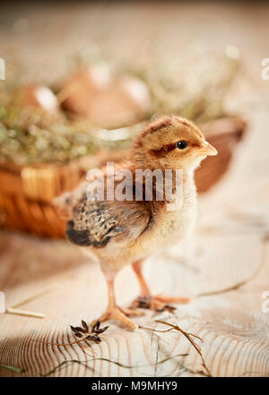 Welsummer Chicken. Chicken standing on wood, in front of nest with eggs. Germany - Stock Photo