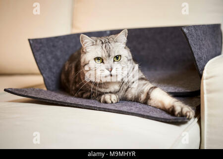 British Shorthair cat. Tabby adult lying in an opened pet bed made of felt. Germany - Stock Photo