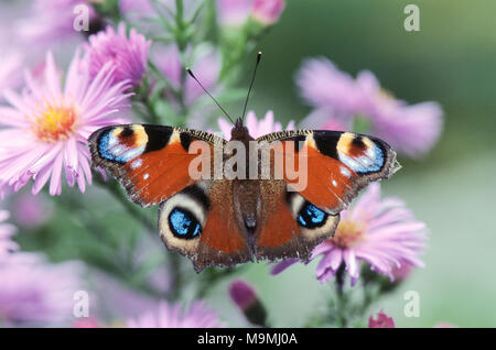 European Peacock Butterfly (Aglais io). Butterfly on Aster flowers. Germany - Stock Photo