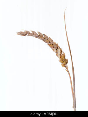 Common Wheat, Bread Wheat (Triticum aestivum), ripe ear. Studio picture against a whote background. Germany - Stock Photo