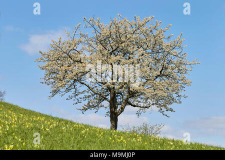 Cherry Tree (Prunus cerasus) in full blossom. Germany. - Stock Photo