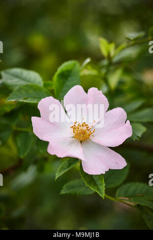Common Briar, Dog Rose (Rosa canina), flower. Germany - Stock Photo