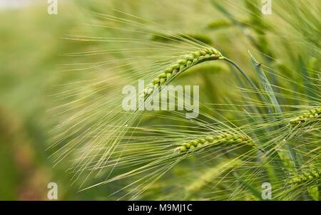 Barley (Hordeum vulgare). Unripe ears in a field. Germany - Stock Photo