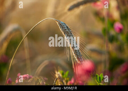 Rye (Secale cereale), ripe ear. Germany. - Stock Photo