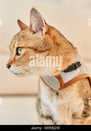 Domestic cat. Tabby adult with harness. Germany. - Stock Photo