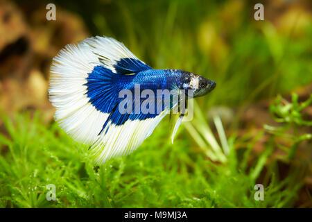Siamese Fighting Fish (Betta splendens). Male in an aquarium. Germany. - Stock Photo