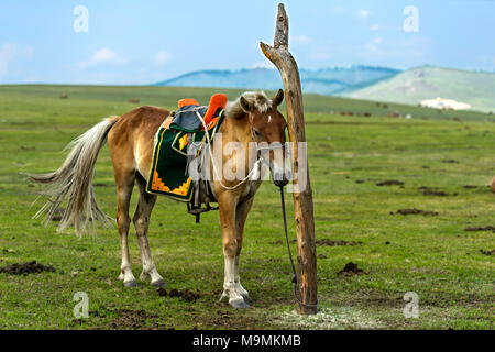 A bridled horse with a traditional saddle is tied to a pole in the steppe, near Erdenet, Mongolia - Stock Photo