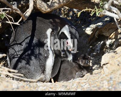 Magellanic penguin (Spheniscus magellanicus), adult animal animal with chicks at breeding burrow, Punta Tombo, Chubut, Argentina - Stock Photo