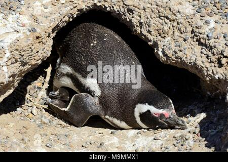 Magellanic penguins (Spheniscus magellanicus), adult animal with two freshly hatched chicks in the breeding burrow, Punta Tombo - Stock Photo