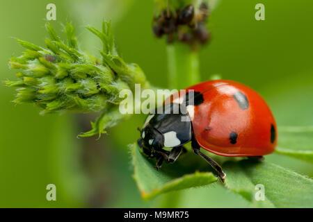 Seven-spott ladybird (Coccinella septempunctata), Tuscany, Italy - Stock Photo