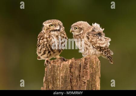 Little owl (Athene noctua), adult bird mit young animal, Rhineland-Palatinate, Germany - Stock Photo