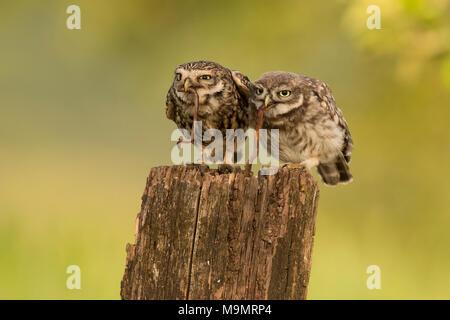Little owl (Athene noctua), adult bird with young animal, feeding, earthworm as prey, Rhineland-Palatinate, Germany - Stock Photo
