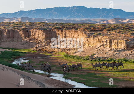 Flock of camels (Camelidae) drinking at a creek, Gobi desert, Mongolia - Stock Photo
